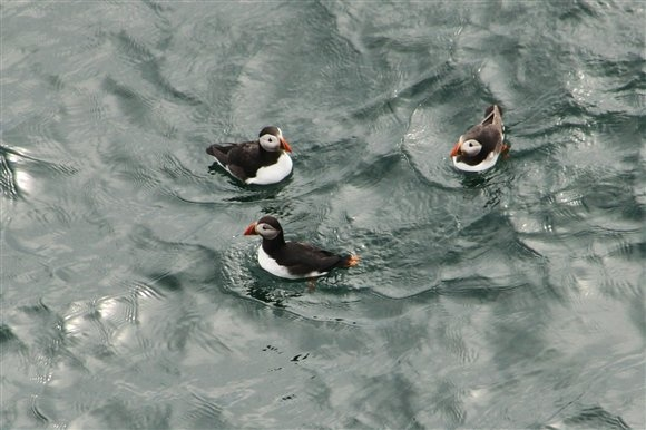Puffins - Mull of Galloway