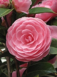 Camellia.... such a perfect looking flower.