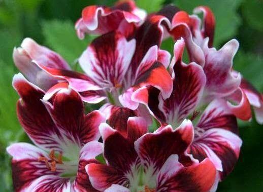 New Gypsy är en engelsk pelargon. Det är en småblommig sort med ovanlig blomform. Varje kronblad är delad i tre delar där den mittersta delen är mycket längre än de två vid sidorna. Den längre mittdelen på varje kronblad är röd, de två vid sidorna är vita. Vissa av kronbladen har mörkt vinröda, nästan svarta fjädermarkeringar. Blommorna ser nästan randiga ut!