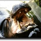 Fascinating Facts About the Hippo