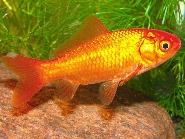 Goldfisch Kaltwasserfische Pinterest Fische