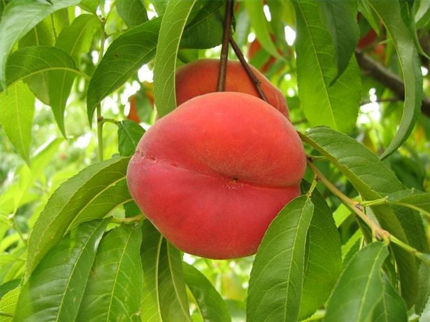 How to grow peach trees in Utah. We have peach trees with the borers & have been fighting them for à few years, but they are still producing great fruit.