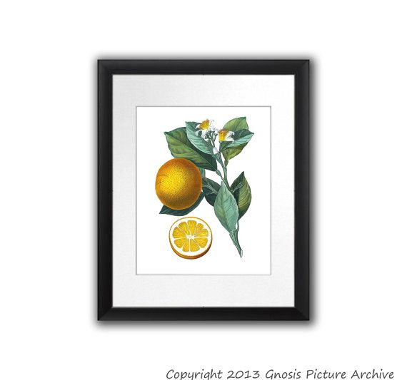 Items Similar To Antique Botanical Print Orange Citrus Fruit Engraving Wall Art Decor Hanging Summer Time Kitchen Dining Room On Etsy