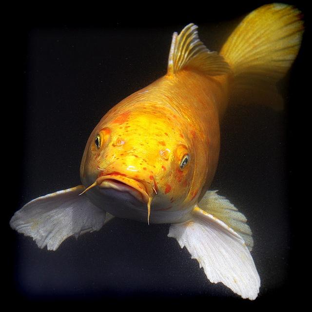 176 besten koi 39 s bilder auf pinterest fische goldfisch for Japanischer kampffisch