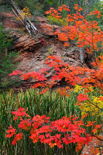 Fall color, West Fork of Oak Creek Canyon, Coconino National Forest, Arizona.