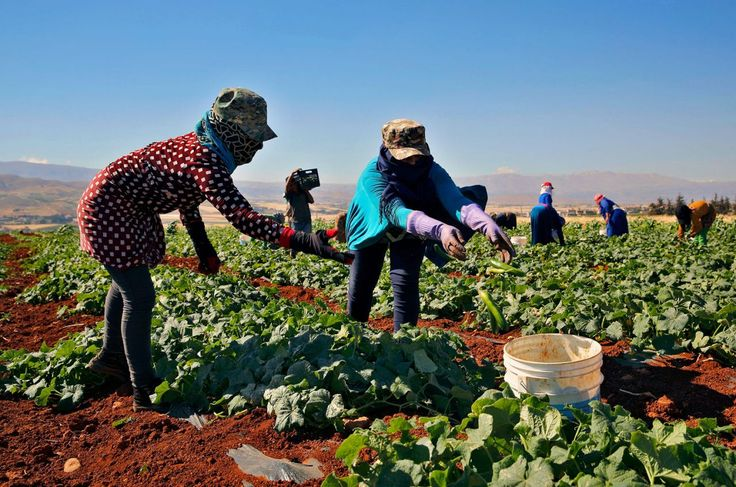 <p>Syrian refugee women, who fled with their family from the city of Raqqa, Syria, pick cucumbers in a field, in the eastern city of Baalbek, Lebanon, Tuesday, June 20, 2017. The U.N. children's agency says the European Union has donated 90 million euros ($100.3 million) that will help provide critical services and support to Syrian refugees in Lebanon, Jordan and Turkey. UNICEF said in a statement Tuesday that the donation on World Refugee Day will help it along with host countries to…