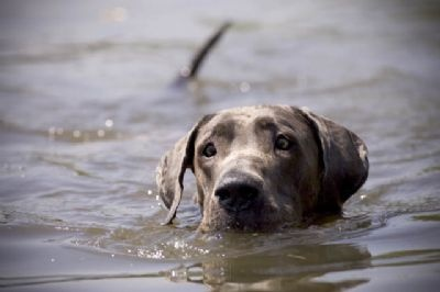 A Blue Great Dane swimming.
