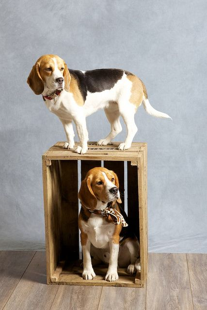 two dogs and a box beagle dog and animal