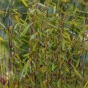 Fargesia nitida 'Trifina Black' - Bambou non-traçant à chaume noire