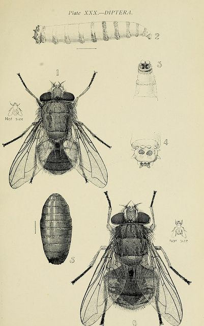 Diptera by BioDivLibrary on Flickr.    Australian insects..  Sydney,W. Brooks[1907].  biodiversitylibrary.org/page/25450523: Art Illustrations, Australian Insects Sydney W, Entomology Drawings, Heritage Libraries, Brooks 1907, Insects Drawings, Biodiv Heritage, Illustrations Drawings, Drawings Insects Natural