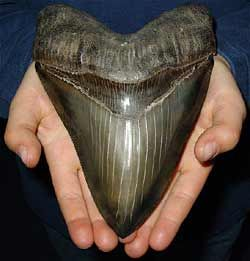 Megalodon Tooth... really don't ever want to see this coming up at me from the deep...