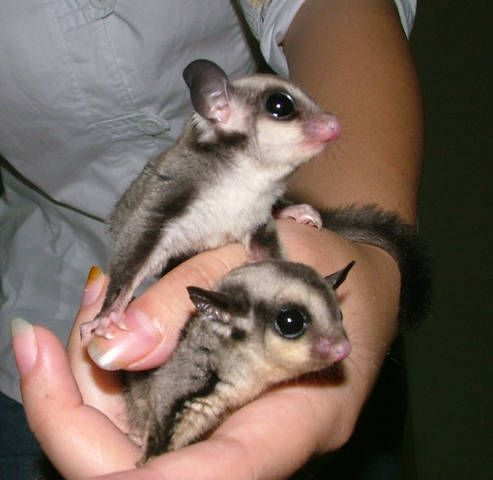 leucistic sugar gliders for sale | Sugar Glider Joey baby young FOR SALE ADOPTION from Kuala Lumpur ...
