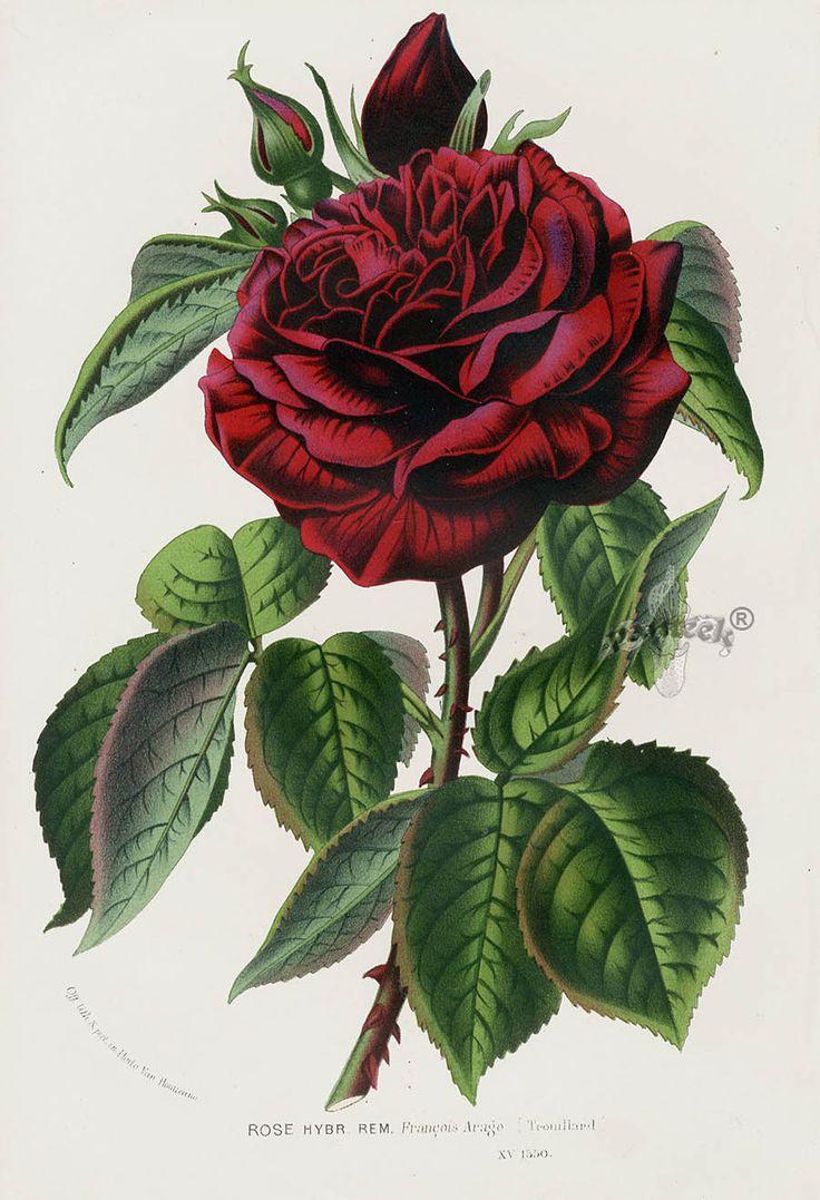 1845 Charles Lemaire Flore de Serres Rose Prints