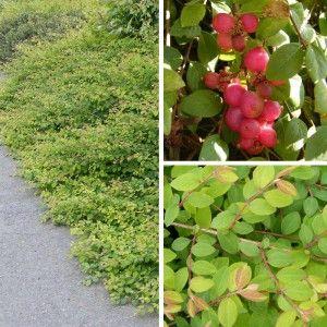 Symphoricarpos chenaultii 'Hancock' - Symphorine couvre-sol à perles roses