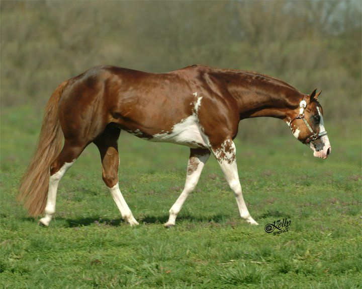 The Ultimate Fancy, a handsome double registered (APHA & AQHA) Sorrel Overo Stallion.v Apparently a sabino.
