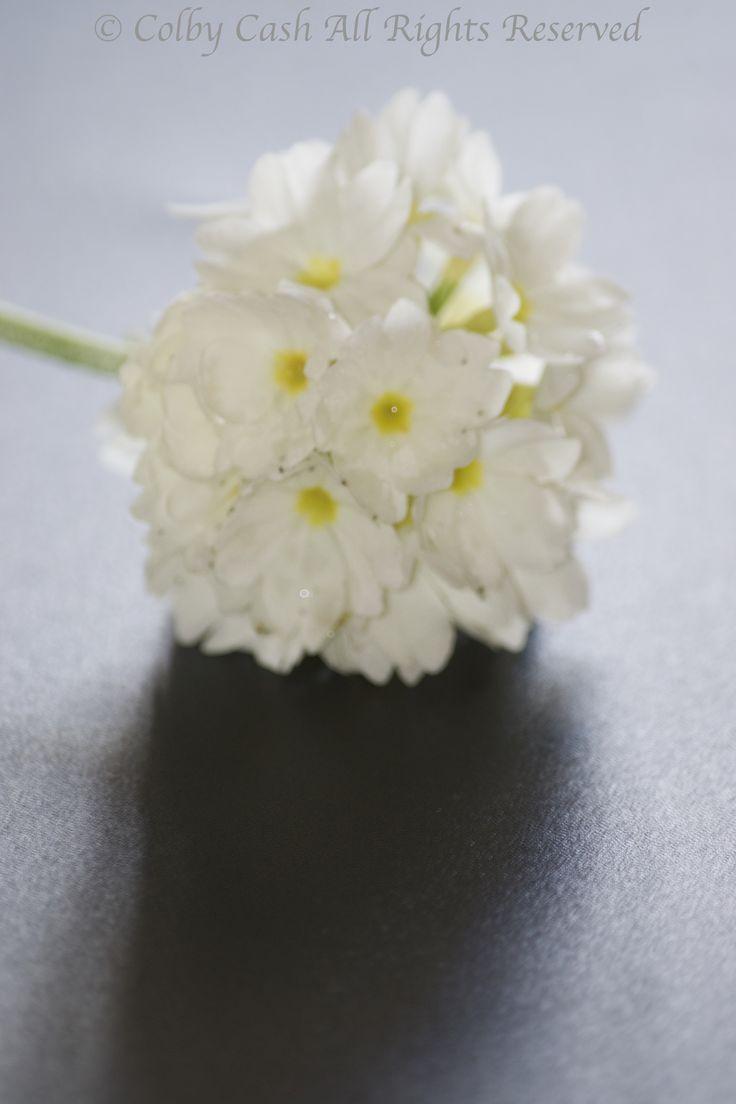 White on Black Primula Denticulata