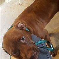 Marianna FL - Meet JuJu, a dog for adoption, male, young, Labrador Retriever, LOCATED at Partners for Pets, Inc., Marianna FL