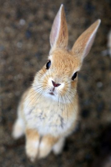 Land of the rising bunny: Rabbits take over Japanese island, in pictures – Tiere
