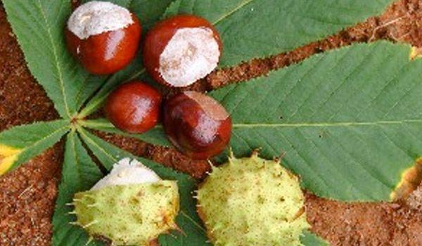 El castaño de Indias, cuyo nombre científico es Aesculus hippocastanum, pertenece a la familia de los Hipocastanáceas.