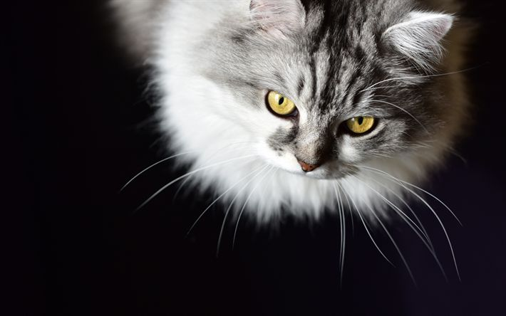 Download wallpapers Siberian cat, pets, gray cat, cute fluffy cats