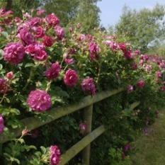 Anglické růže - Sytě růžové - Wild Edric