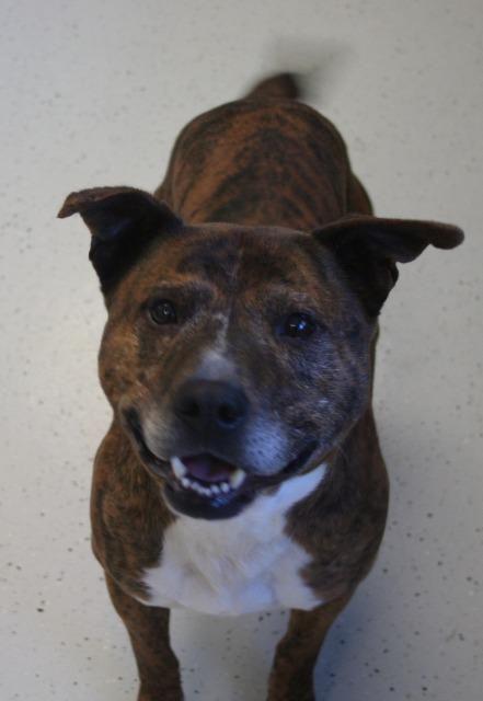 Bullboxer Pit dog for Adoption in Bemidji, MN. ADN-437716 on PuppyFinder.com Gender: Male. Age: Adult