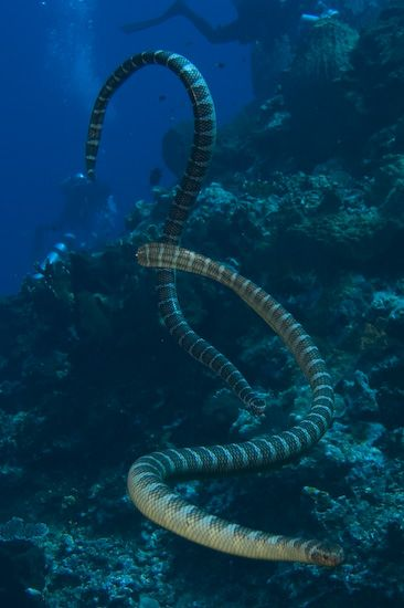 Deadly Sea Snakes Investigating Their New Scuba Visitors