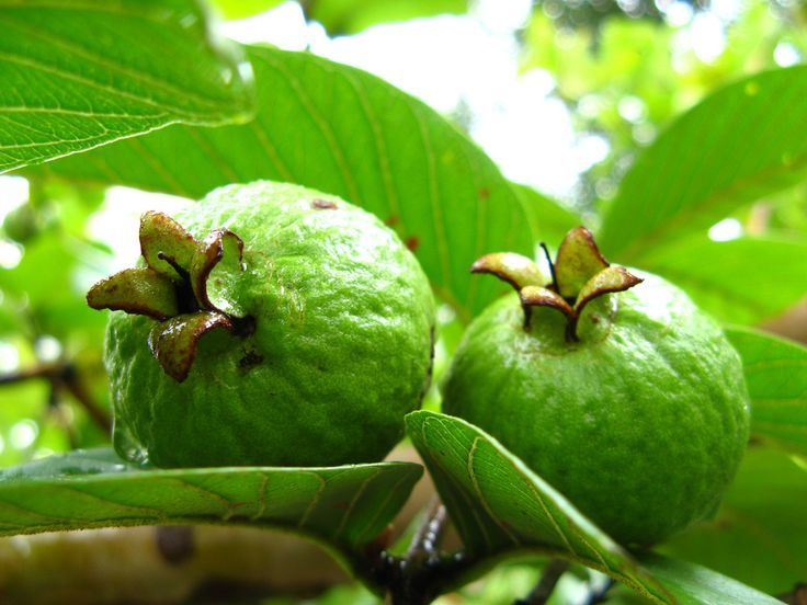 Best 25 guava leaves ideas on pinterest guava leaves for hair 15 health benefits of guava leaves that you shouldnt miss ccuart Image collections