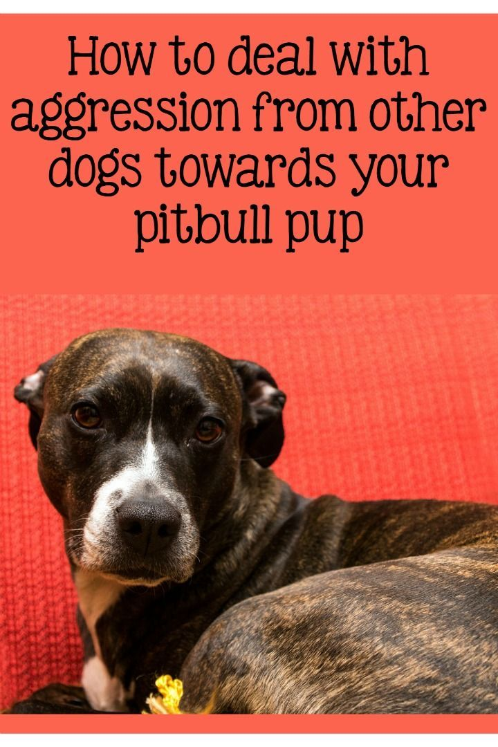 Today Pitbull Puppy Training Tips, will be addressing tension between your dogs. Take notes. This is an important one in Pitbull Puppy Training Tips.