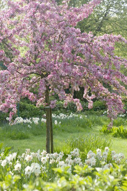De Japanse sierkers (Prunus serrulata 'Pendula') wordt na het planten niet groter en de takken hangen als een parasol naar beneden, waardoor het schaduwoppervlak minimaal blijft. Ideaal voor een kleine tuin.