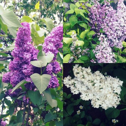 Lilac white and purple