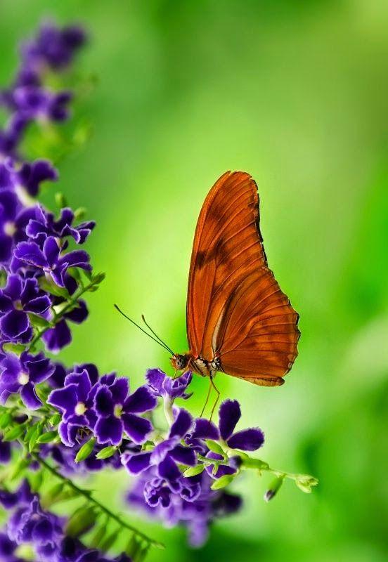 Pretty Butterfly Orange Longwing