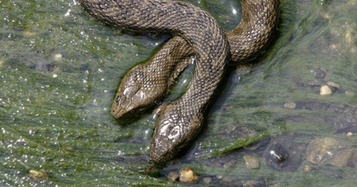 Repelente de serpientes hecho en casa para el interior. Las serpientes tienen un propósito valioso en la naturaleza. Una sola puede comer varios roedores, incluyendo ratas y ratones, cada año. Estos roedores propagan enfermedades a los humanos, si no se controlan, se multiplicarán a una gran velocidad causando problemas graves a las personas. Desafortunadamente, existen varias especies de serpientes ...