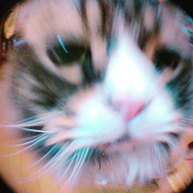あー朝からお見送りありがとね笑(小鉄) #小鉄#近い#ドアップ#鼻デカメラ#アメショ#ペルシャ#愛猫#飼い主#見送り#朝一#玄関#ありがとう