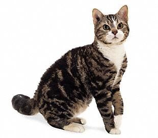 American Wirehair cat:   The American Wirehair cat breed is a medium sized cat with a muscular and firm body. The head is longer rather than wider and the eyes are a rounded shape. The ears are slightly rounded at the tip. Females of this cat breed are smaller than the males.
