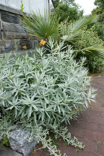 Artemisia ludoviciana 'Valerie Finnis': Silver Wormwood; deer tol, clay tol, native, deciduous at end of summer, low water, sun