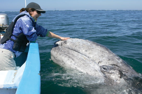 Pet gray whales in Mexico