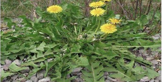 O manjericão é uma planta muito usada para dar um toque especial nas comidas.O sabor e o aroma são marcantes, mas e as propriedades medicinais dele?Não ficam atrás, são ainda mais poderosas.