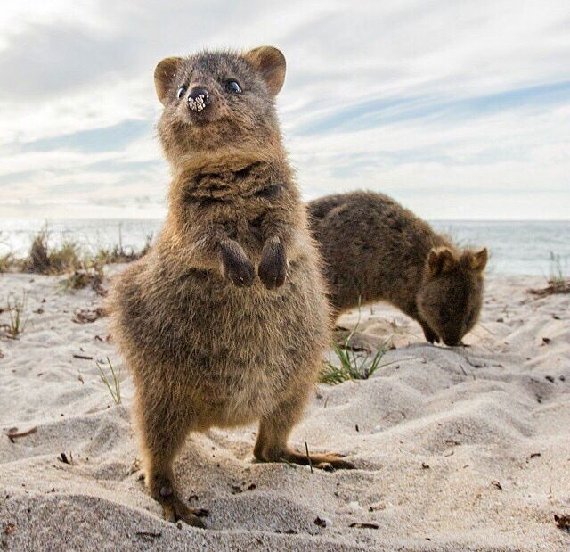 1000+ images about Quokka on Pinterest | Wombat, Happy and ...