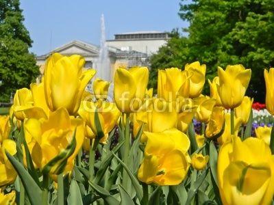 Gelbe Tulpen mit Blick auf Hallesche Oper: Gelb Tulpen, 31934253 Auf, Auf Hallesch, View Of, Bilder Auf, Foto 31934253, Auf Fotolia Com, Image Database And, Stockfoto Und