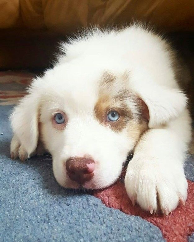 Simply disgusting. | 17 Reasons Australian Shepherds Are The Worst Possible Breed Of Dog You Could Adopt