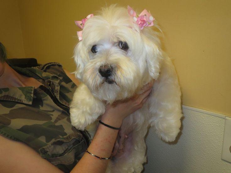 Maltese dog for Adoption in MORENO VALLEY, CA. ADN-605821 on PuppyFinder.com Gender: Female. Age: Adult