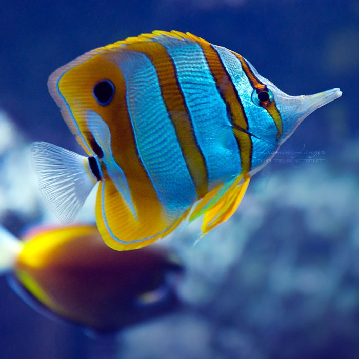 Copperband Butterflyfish - Zoo Frankfurt am Main... Bright Stripes by kuschelirmel.deviantart.com on @deviantART