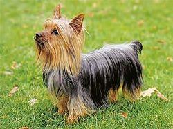 Silky Terrier Australiano