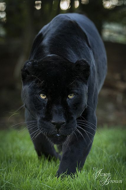 ~~Intimidating Jaguar by Jason Brown Photography~~