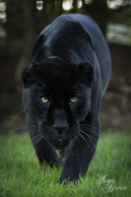 Intimidating Jaguar by JasonBrownPhotography on Flickr. WHF