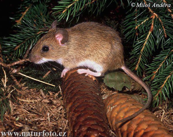 Yellow-necked Field Mouse (Apodemus flavicollis)