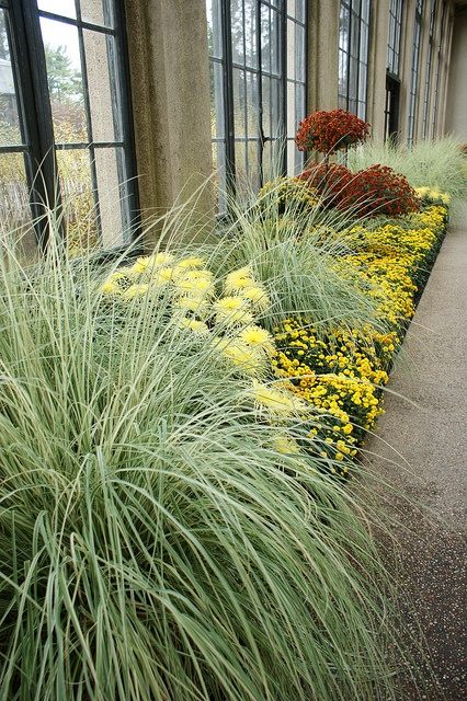 Ornamental Grasses Florida 104 best fl ornamental grass images on pinterest ornamental cortaderia selloana pampas grass silver comet 4 may workwithnaturefo