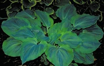 Dark Shadows Hosta - Shade Perennial Large Slug Resistant Hosta Plant