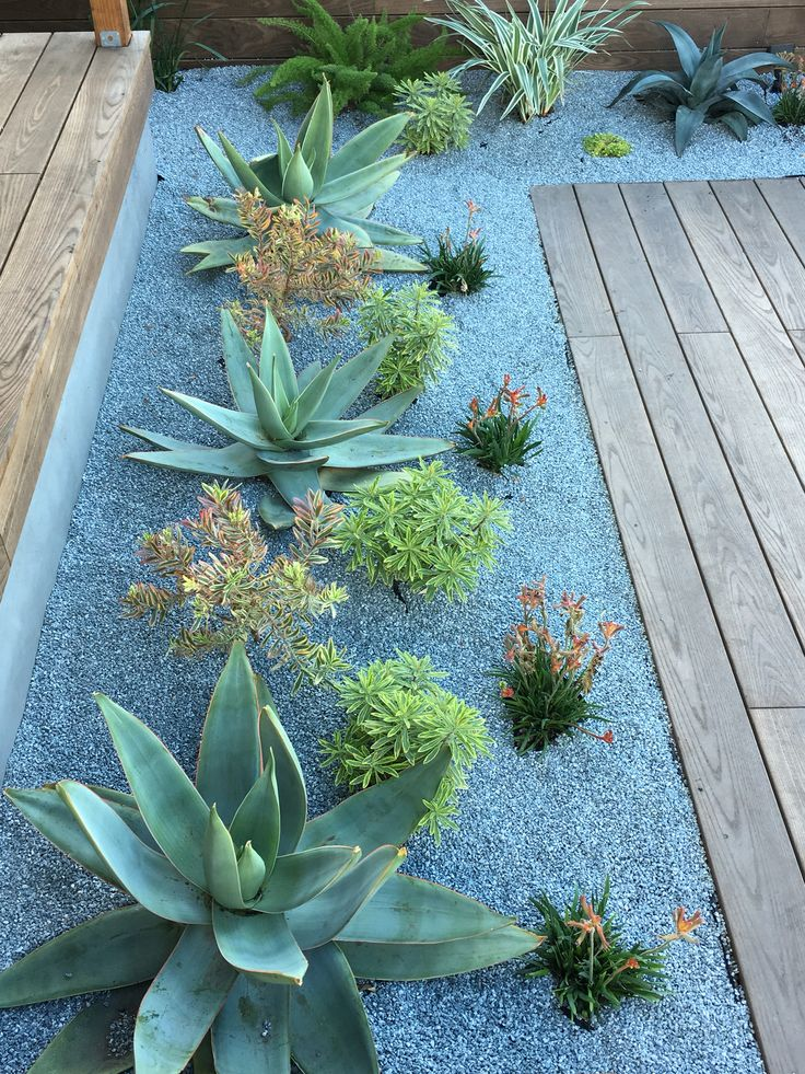 Drought tolerant plantings. Aloes and kangaroo paw. More - Succulent Gardening